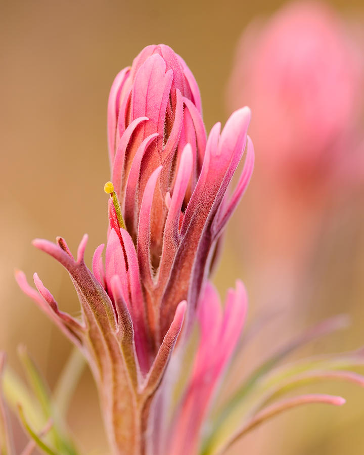 Indian Paintbrush Photograph  - Indian Paintbrush Fine Art Print