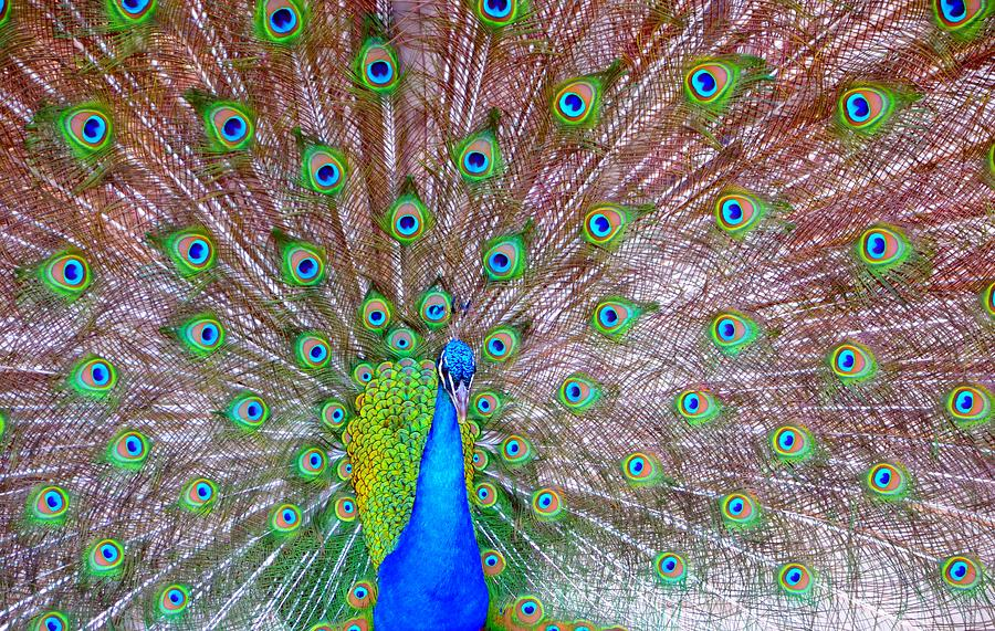 Indian Peacock Photograph