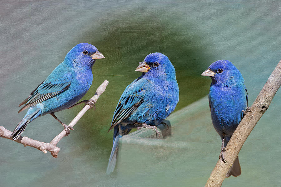 Indigo Buntings Photograph