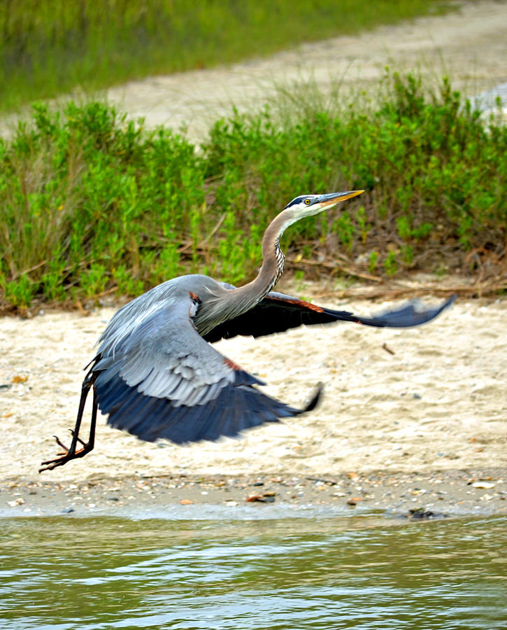 Great Blue Heron Photograph - Inflight Great Blue Heron by Sandi OReilly