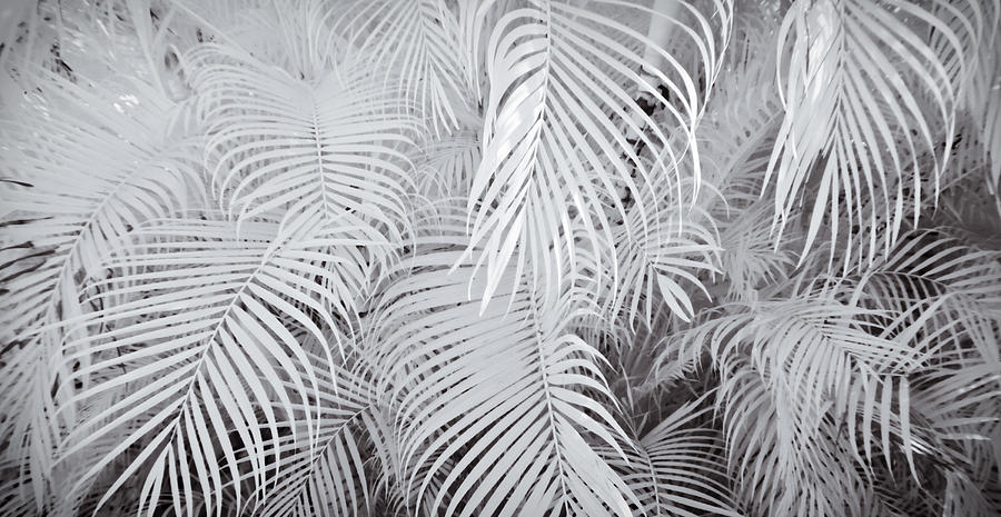 Infrared Palm Abstract Photograph