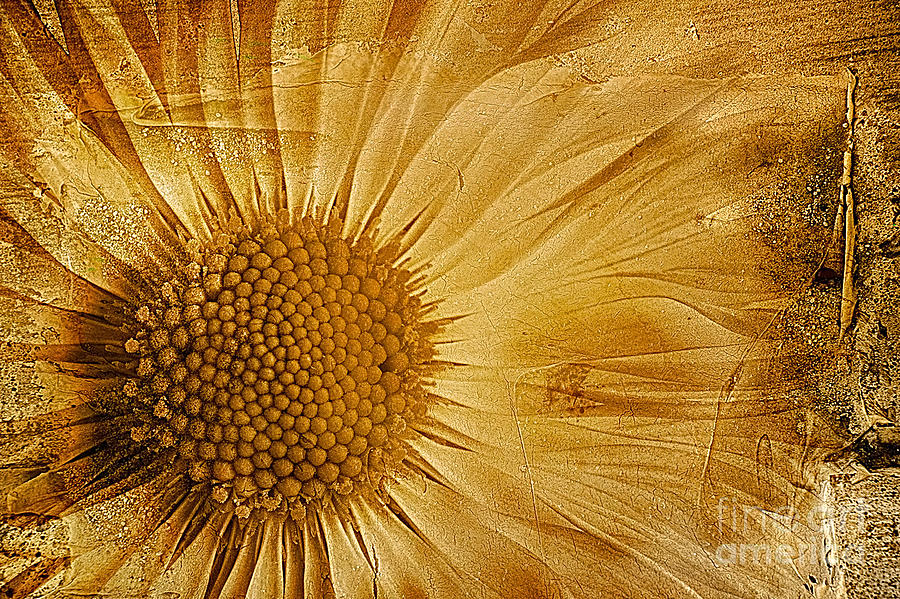 Textured Bellis Perennis Photograph - Infusion by John Edwards
