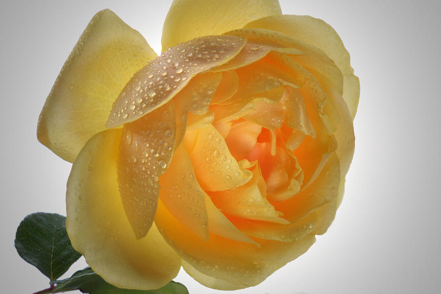 Rose Photograph - Inner Glow. by Terence Davis