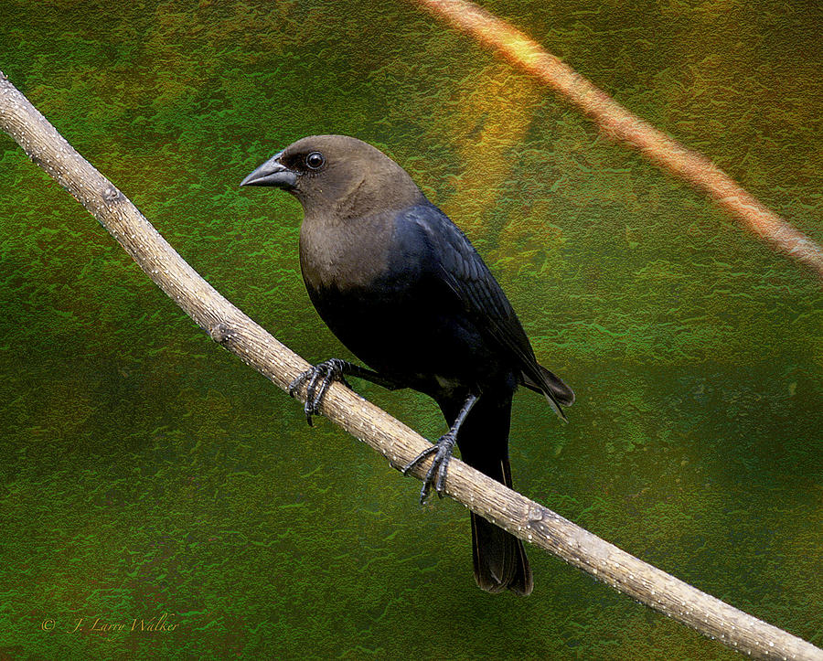 Inquisitive Cowbird Digital Art  - Inquisitive Cowbird Fine Art Print