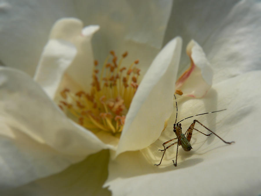 Insect On A Soft Rose Photograph