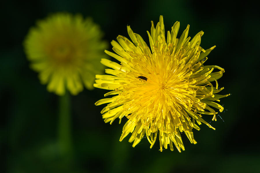 Insects On A Dandelion Flower - Featured 3 Photograph