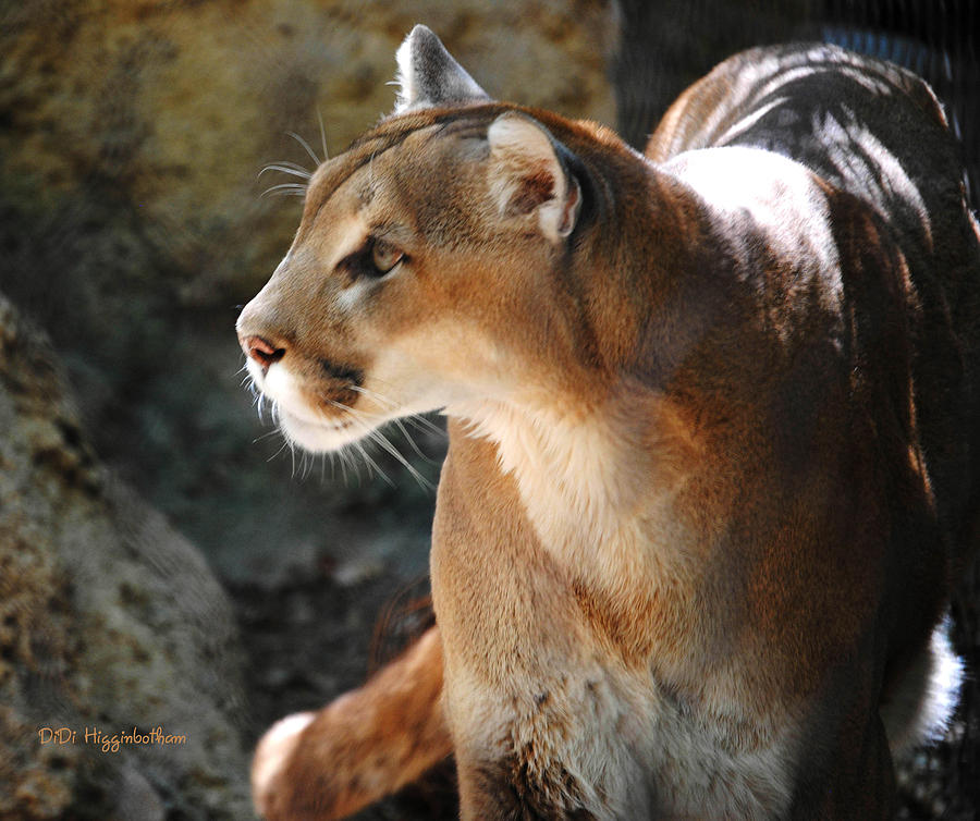 Intense Mountain Lion Photograph  - Intense Mountain Lion Fine Art Print