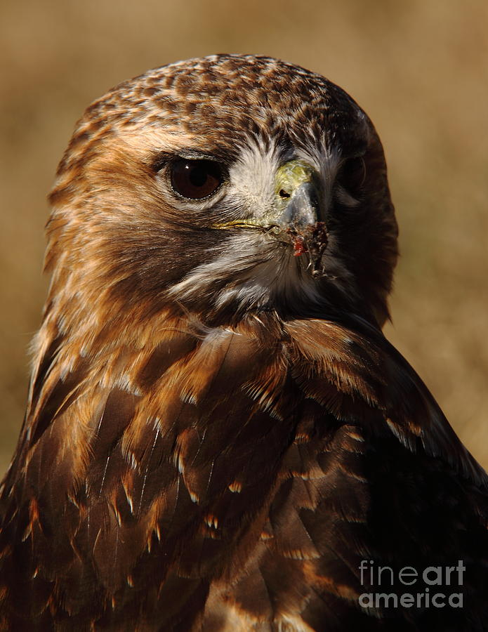 Red Tailed Hawk Photograph - Red Tailed Hawk Portrait by Robert Frederick