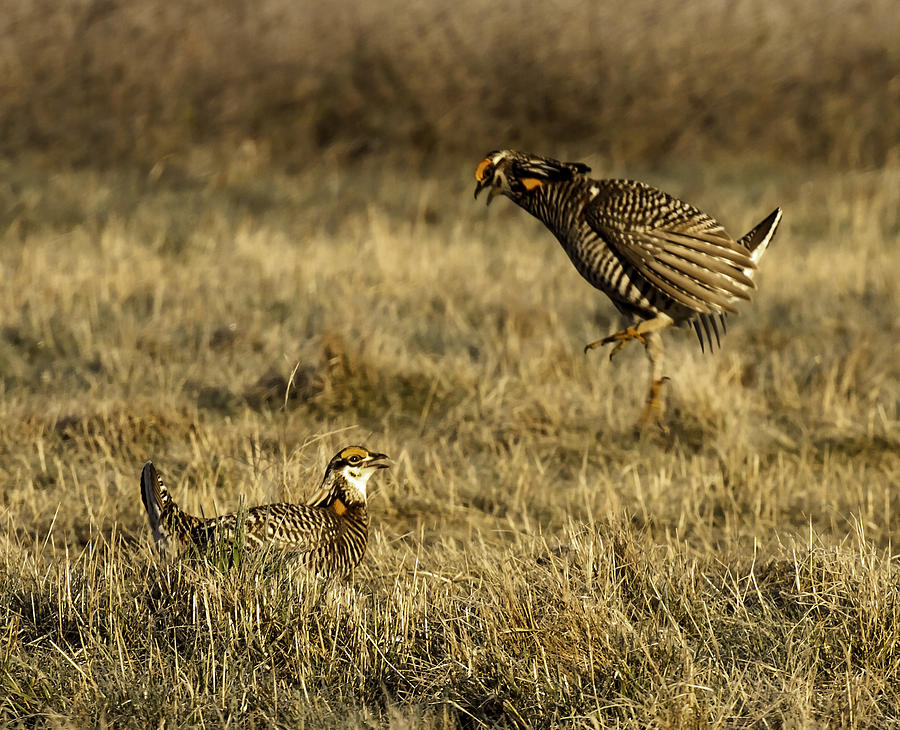Wisconsin Prairie Chickens Photograph - Intimidating Jump by Thomas Young