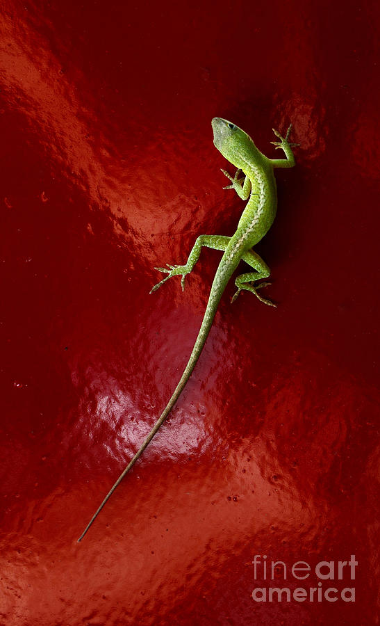 Lizard On Red Photograph