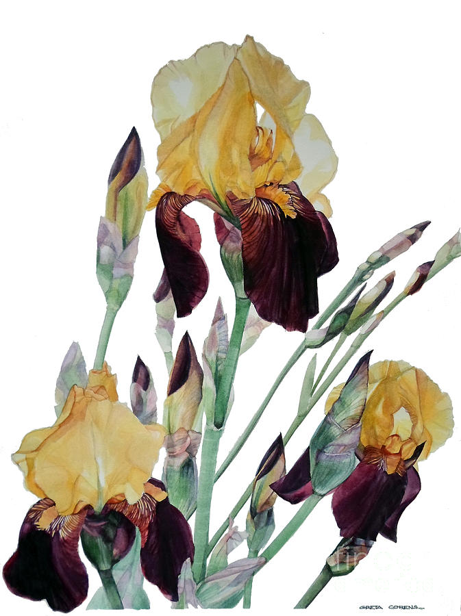 Watercolor Of Tall Bearded Iris In Yellow And Maroon I Call Iris Beethoven Painting