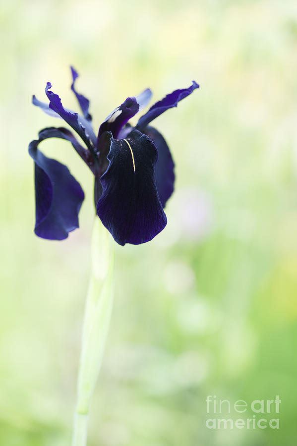 Iris Chrysographes Black Form Photograph  - Iris Chrysographes Black Form Fine Art Print