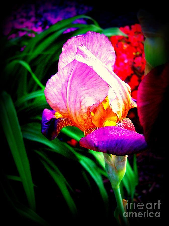 Iris Photograph - Iris Glow by Janine Riley