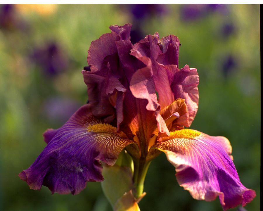 iris in bloom photograph by george ferrell. Black Bedroom Furniture Sets. Home Design Ideas