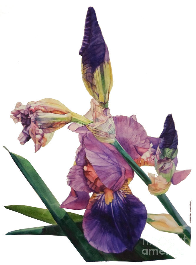 Watercolor Of A Tall Bearded Iris In A Color Rhapsody Painting