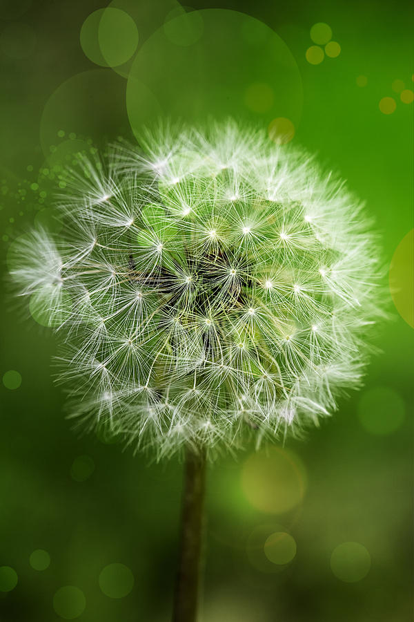 Green Photograph - Irish Dandelion by Bill Tiepelman