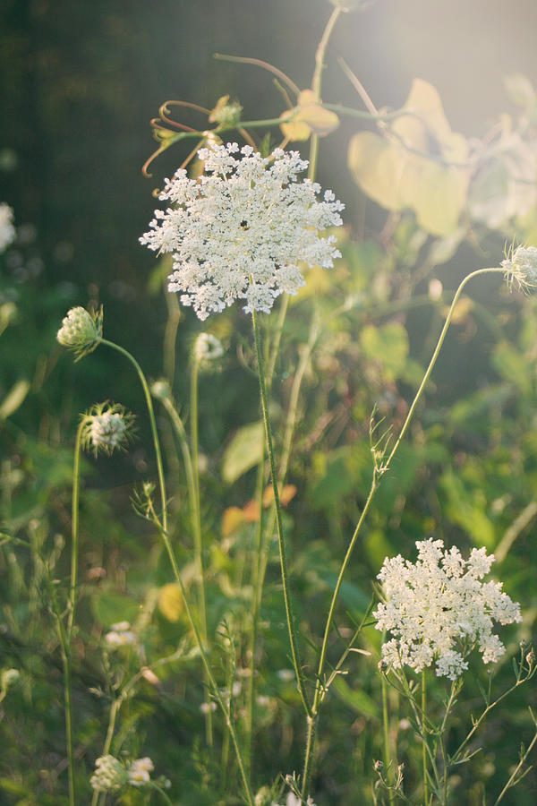 Queen Anne's Lace Photograph - It Was A Summer Of Love by Laurie Search