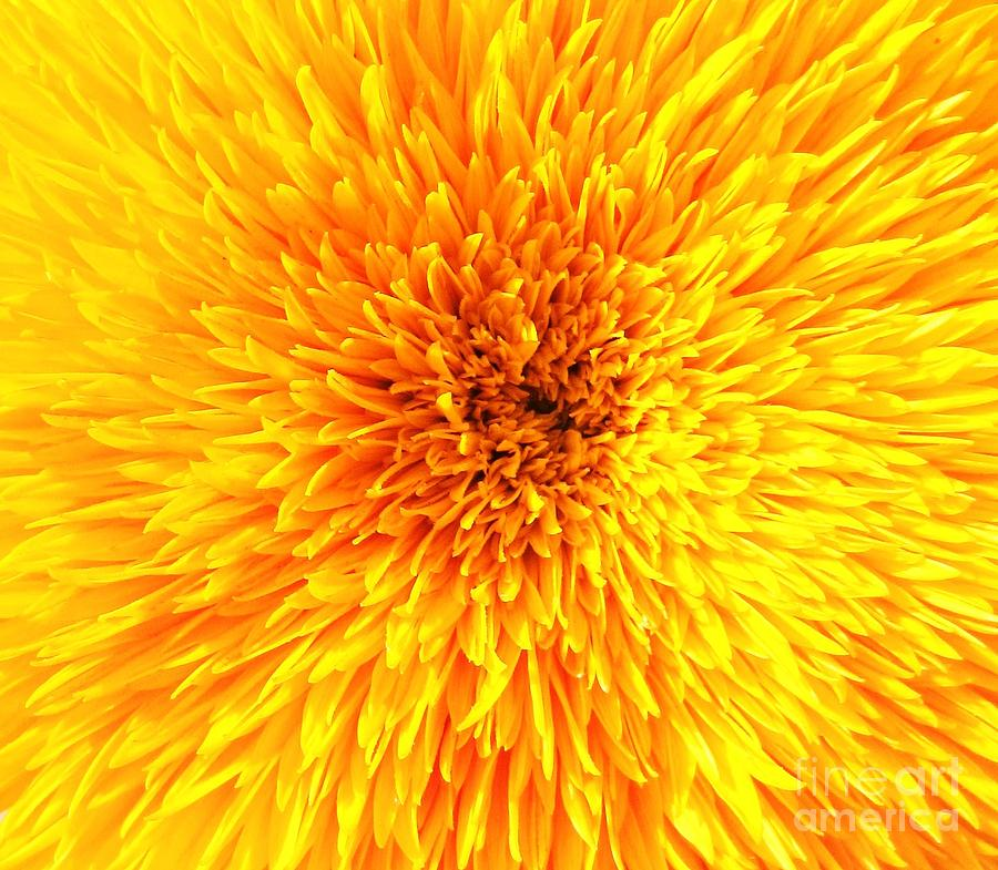 Italian Sunflower Detail Photograph