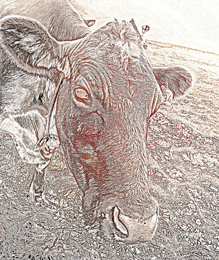 Its A Cows Life  Photograph