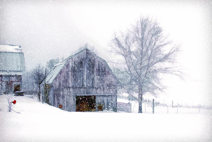 Barn. Old Barn. Vintage Barn. Winter. Winter Landscape. Snow. Blizzard. Trees. Birds. Cardinal. Wildlife. Nature. Fences. Photography. Digital Art. Poster. Canvas. Greeting Card. Christmas Card. Photograph - Its Cold Outside by Mary Timman