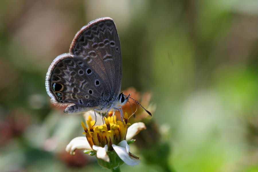 Itty Bitty Butterfly Photograph  - Itty Bitty Butterfly Fine Art Print