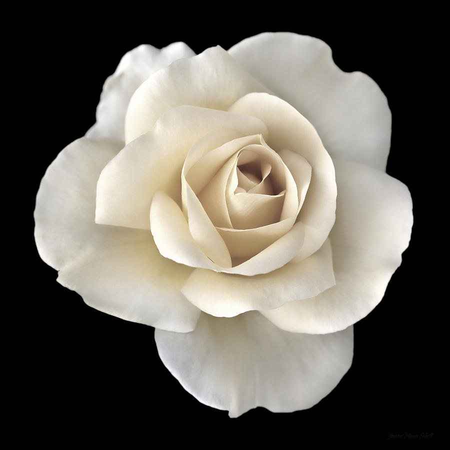 Ivory Rose Flower Portrait Photograph