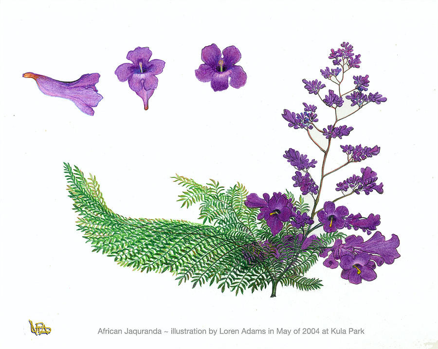 Original Drawing Drawing - Jacaranda Branch And Blossoms by Loren Adams