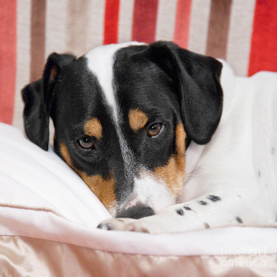 Jack Russell Terrier Dog - Square Format Photograph