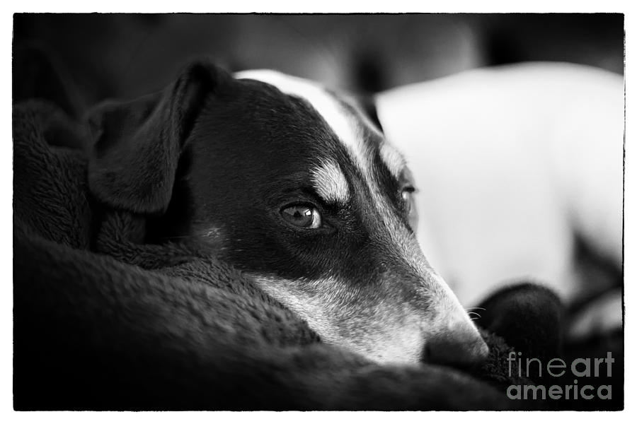 Jack Russell Terrier Portrait In Black And White Photograph  - Jack Russell Terrier Portrait In Black And White Fine Art Print