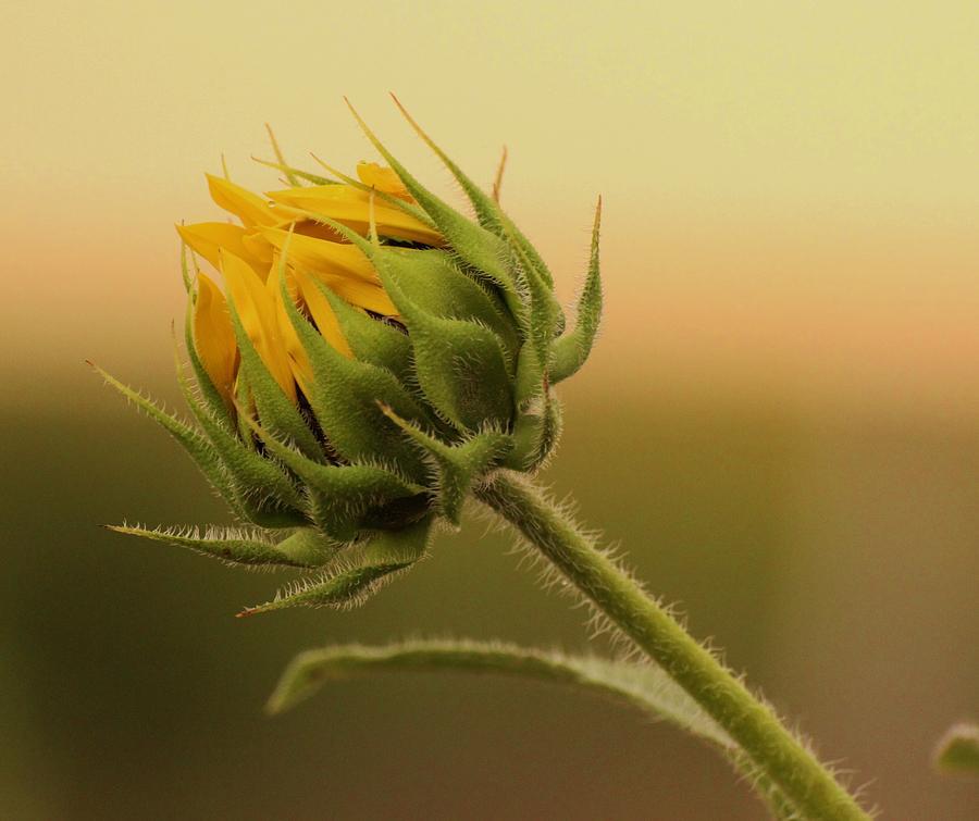 Free photo Blossom Summer Sun Flower Bud Sunflower Bud ...  |Sunflower Bud