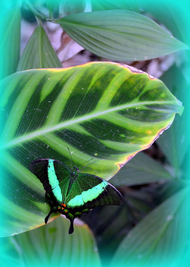 Jade Butterfly With Vignette Photograph