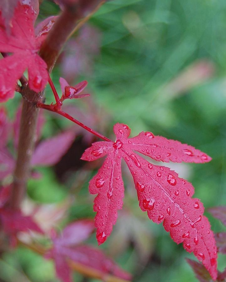 Japanese Maple Leaf Photograph By Warren Aldrich