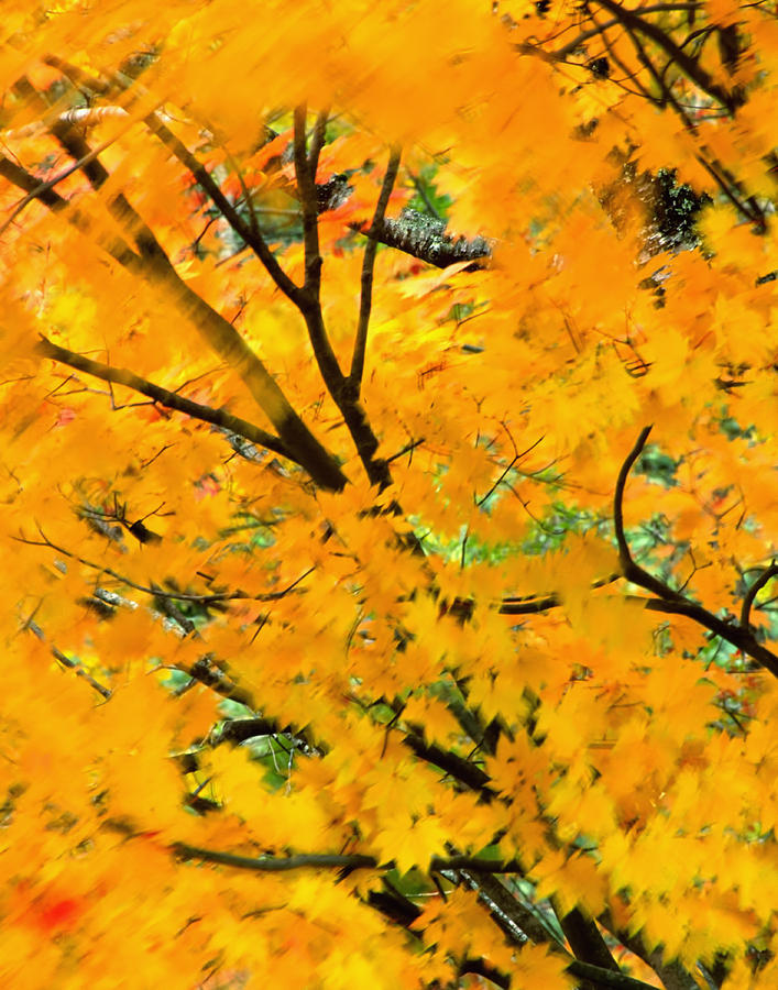 Blow Photograph - Japanese Maple Leaves Blowing In Wind by Robert Jensen