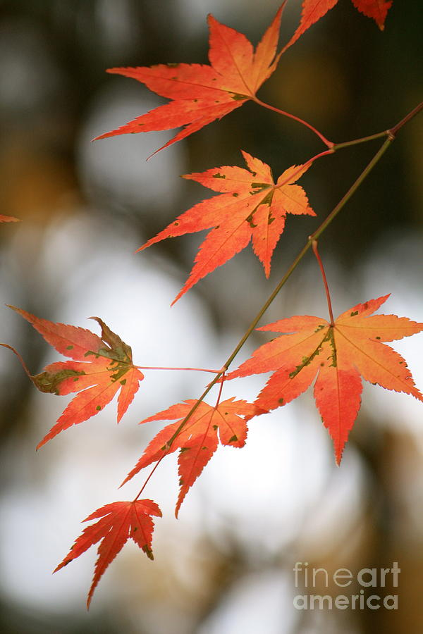 Japanese Maple Leaves Photograph By Danielle Groenen