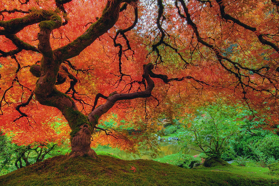 Japanese maple tree in autumn photograph by david gn for Japanese garden colors