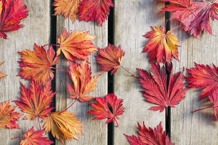 Japanese Maple Tree Leaves On Wood Deck Photograph  - Japanese Maple Tree Leaves On Wood Deck Fine Art Print