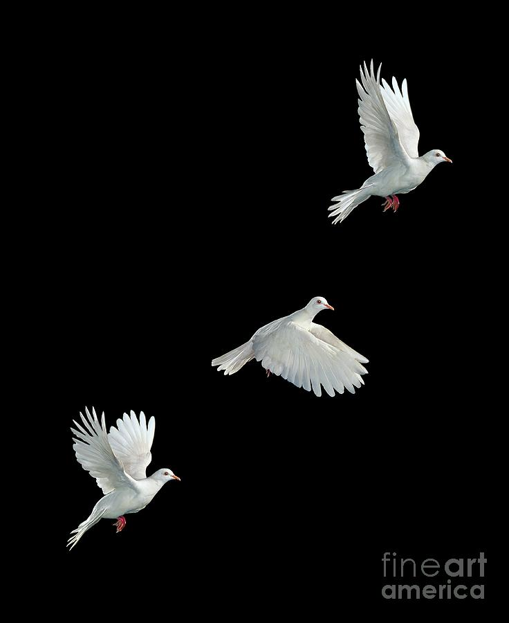 Java Dove In Flight Photograph
