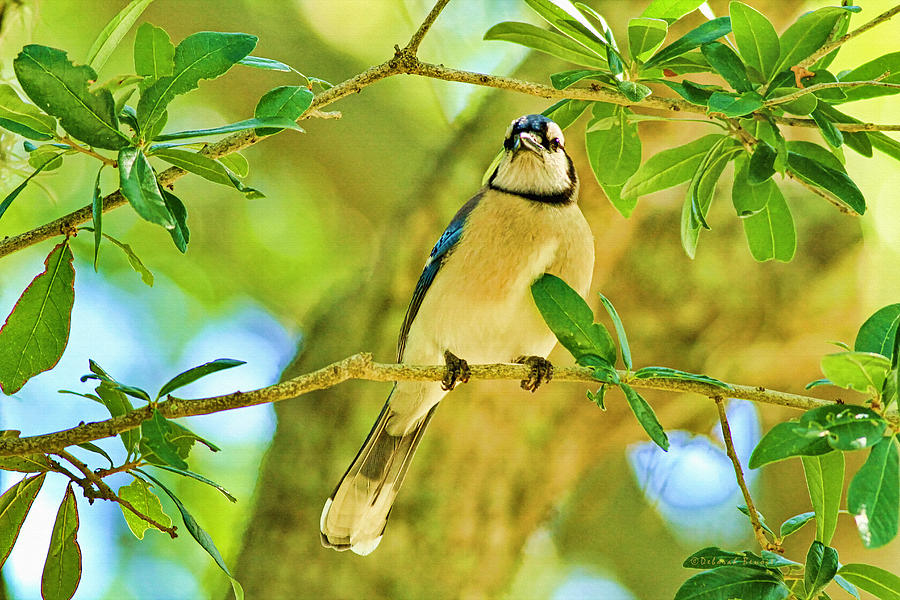 Jay In The Tree Photograph  - Jay In The Tree Fine Art Print
