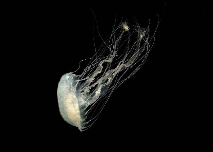 Jelly Fish Photograph  - Jelly Fish Fine Art Print