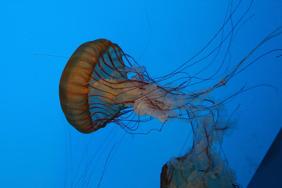 Jellyfish - National Aquarium In Baltimore Md - 121226 Photograph  - Jellyfish - National Aquarium In Baltimore Md - 121226 Fine Art Print