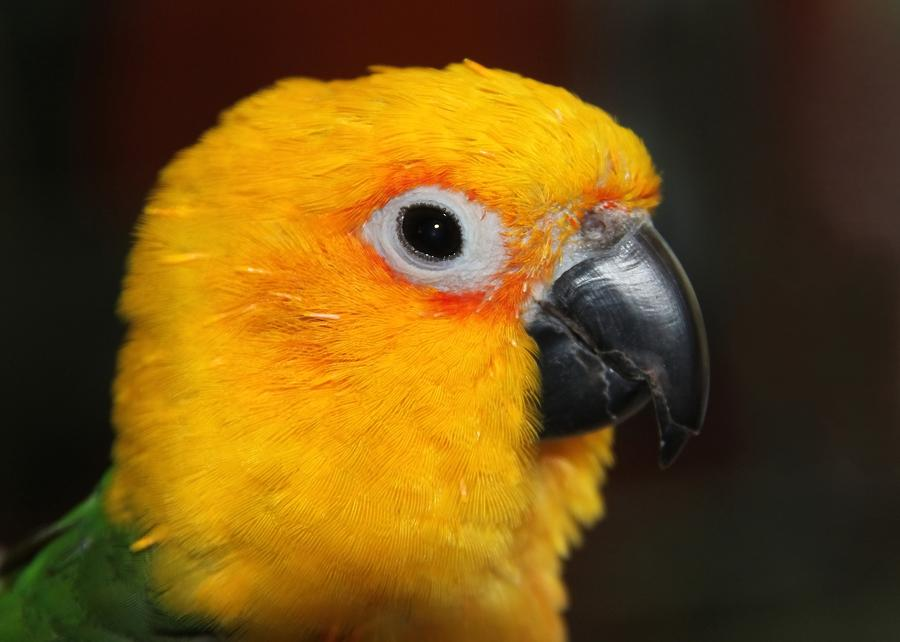 Jenday Conure Portrait Photograph