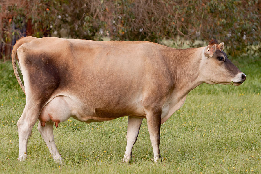 Jersey Photograph - Jersey Cow In Pasture by Michelle Wrighton