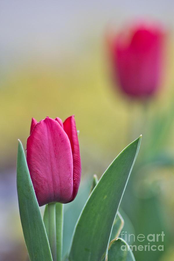 Jerusalem Tulip 2 Photograph