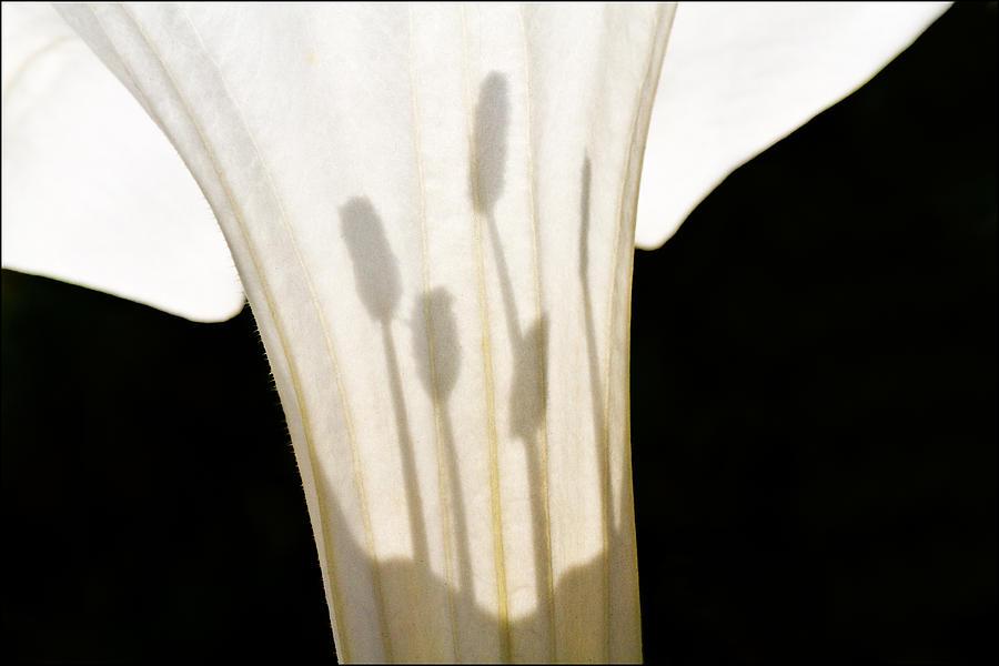 Jimsonweed Chiaroscuro by Steven Schwartzman