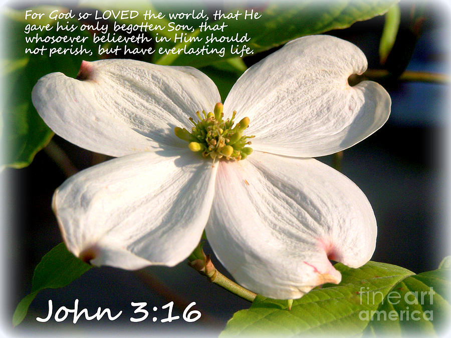 John 3-16/dogwood Legend Photograph