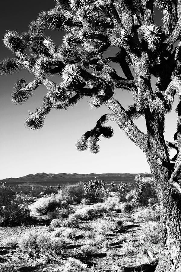 Joshua Tree Bw Photograph