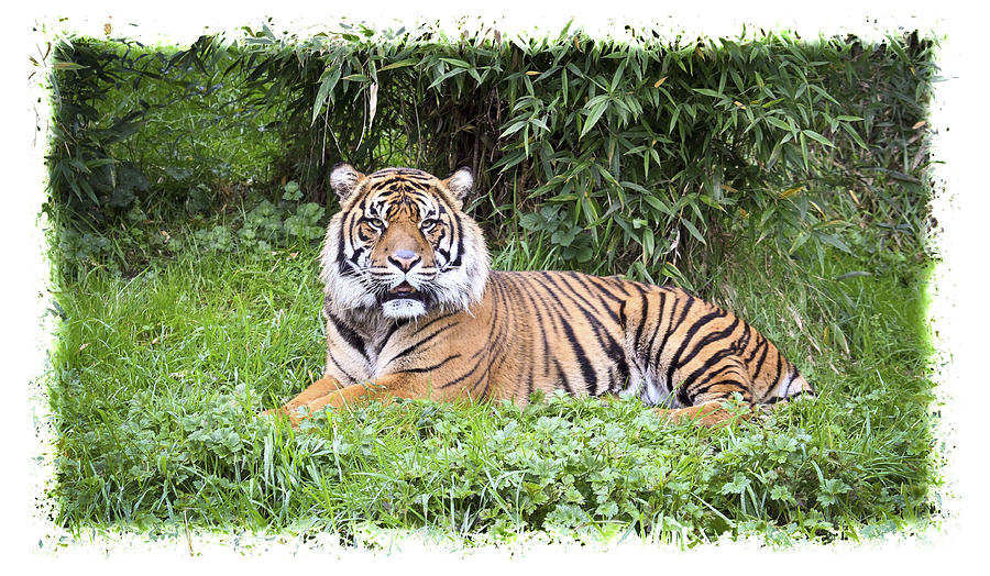 Jungle Cat is a photograph by Steve McKinzie which was uploaded on ...