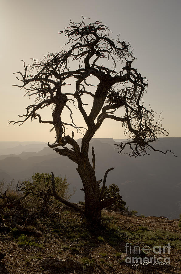 Juniper Tree At Grand Canyon Photograph  - Juniper Tree At Grand Canyon Fine Art Print