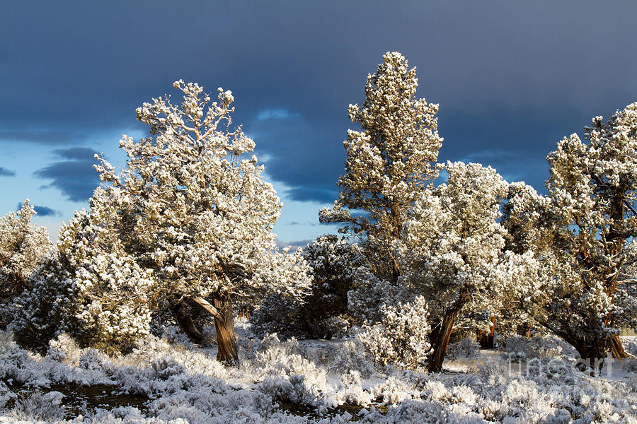 Juniper Trees In Snow Photograph