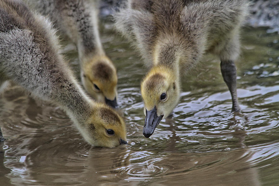 Geese Photograph - Just Babes by Karol Livote